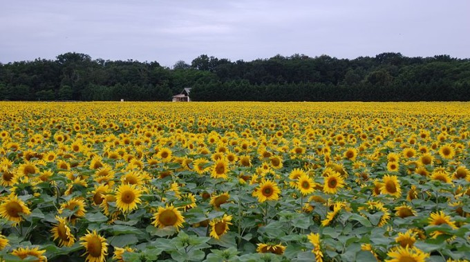 800px Field Of Sunflowers