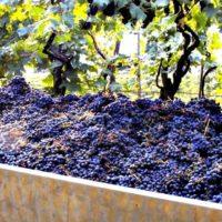 Festa Dell'uva Scansano Maremma Tuscany.jpg2