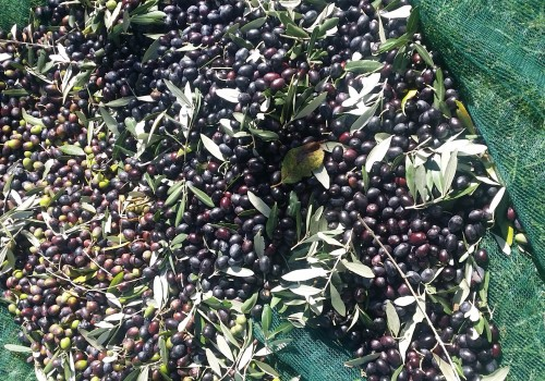 From Tree To Table: Homegrown Olive Oil